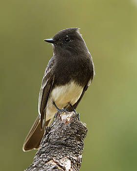Black Phoebe by Doug Herr