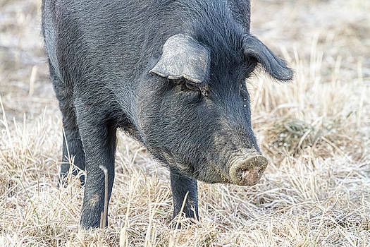 Black Pig Close-Up by James BO Insogna