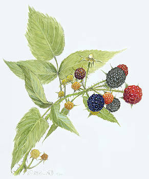 Black Raspberries by Scott Bennett