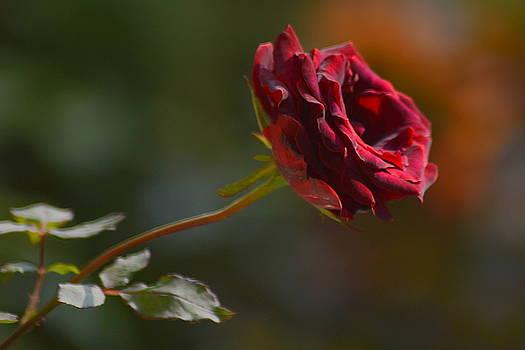 Black Rose by Salman Ravish