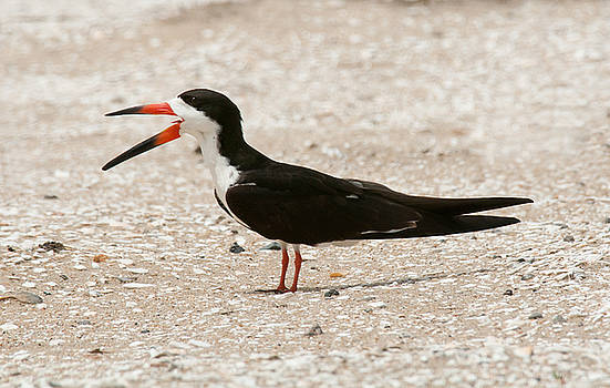 Lara Ellis - Black Skimmer on Assateague Island