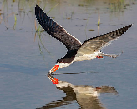 Black Skimmer Skimming by Jerry Fornarotto