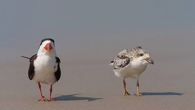 Paul Rebmann - Black Skimmers Adult and Chick