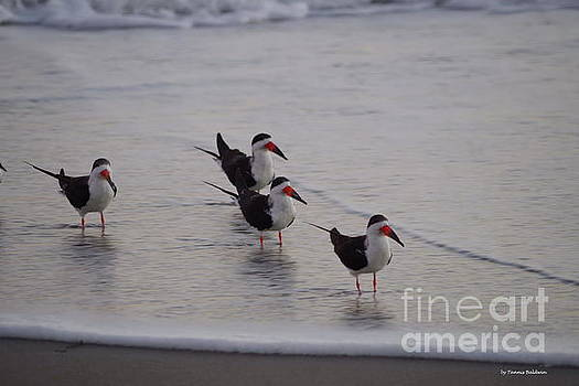 Black Skimmers at sunrise by Tannis Baldwin