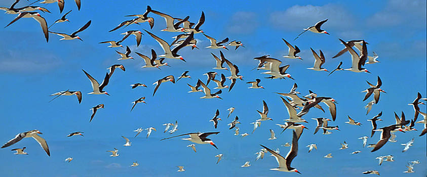 The Black Skimmers by William Walker