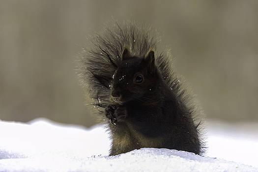 Black Squirrel by Liza Eckardt