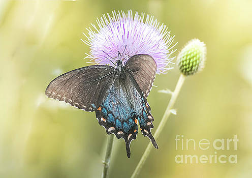 Black Swallotail Butterfly In Thistle by Robert Frederick