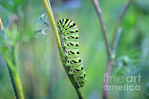 Black Swallowtail Butterfly Caterpillar in Meadow by Karen Adams
