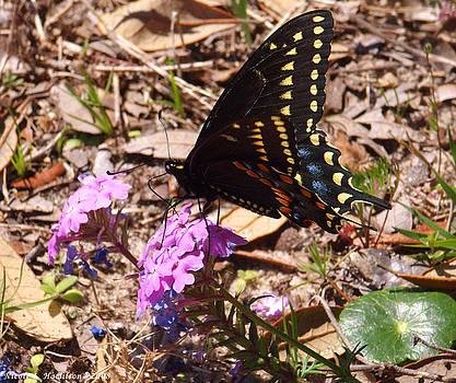 Nicole I Hamilton - Black Swallowtail Butterfly