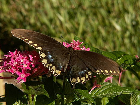 Black swallowtail Butterfly on Pentas by Theresa Willingham