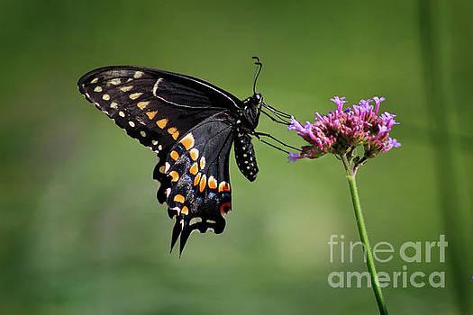 Black Swallowtail Butterfly Ventral View 2017 by Karen Adams