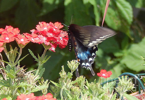 Black Swallowtail  by Dave Nevue