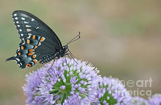 Black Swallowtail  by Karen Hofmann