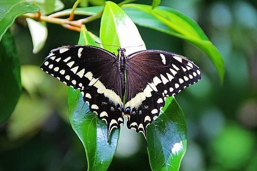 Black Swallowtail by Michiale Schneider