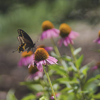 Black swallowtail on Echinacea by Billy Stovall