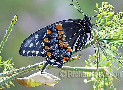 Black Swallowtail by Richard Nickson