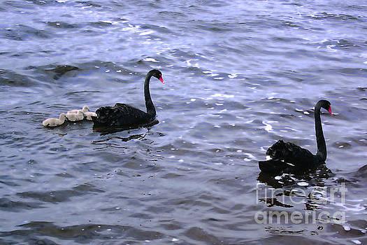Black Swan Family by Cassandra Buckley