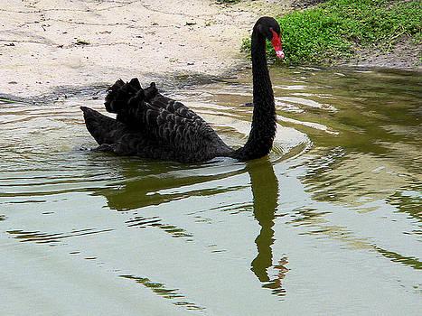 Black Swan by Rosalie Scanlon