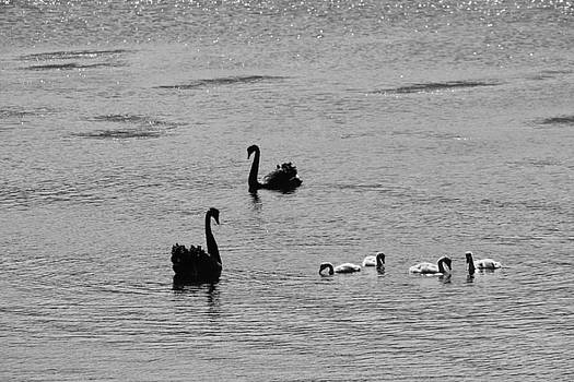 Black Swans, Tasmania 2015 by Rolf Ashby