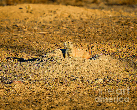 Jon Burch Photography - Black Tail Prairie Dog