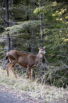 Black-Tailed Deer in Olympic National Park by Brandon Alms