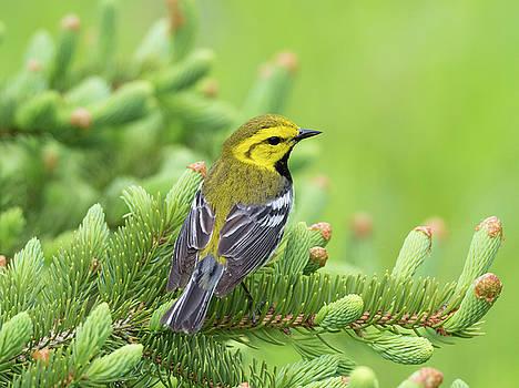 Black-throated Green Warbler Songbird by Scott Leslie