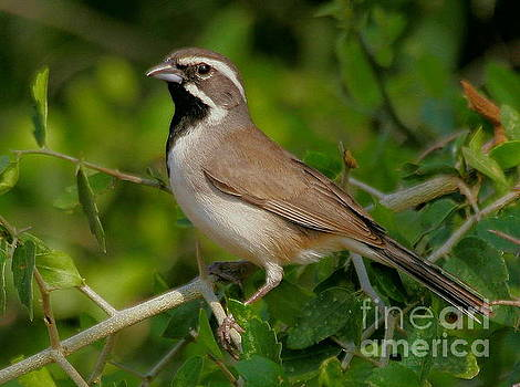 Black-throated Sparrow by Myrna Bradshaw