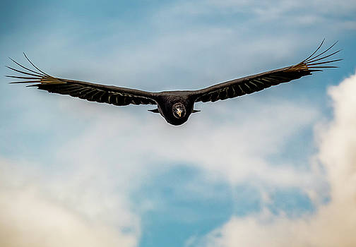 Black Vulture over State Line Lookout by Jorge Perez - BlueBeardImagery