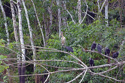 Harvey Barrison - Black Vultures with Wood Stork