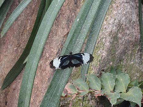 Black White Butterfly on Green Rock by Mozelle Beigel Martin