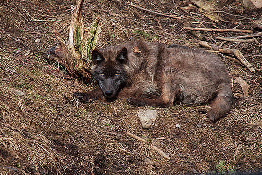 Black Wolf by Eunice Gibb