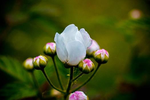 Barry Jones - Blackberry Blossom - 1