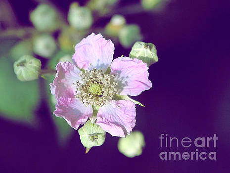 Blackberry Blossom by Susan Wall