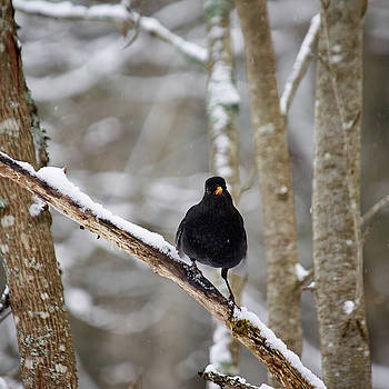 Blackbird attitude by Jouko Lehto