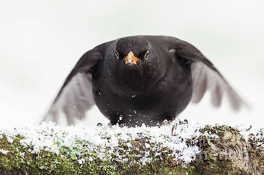 Simon Bratt Photography LRPS - Blackbird close up landing in winter