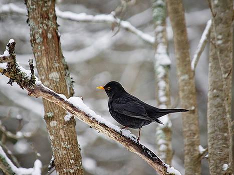 Blackbird forest by Jouko Lehto