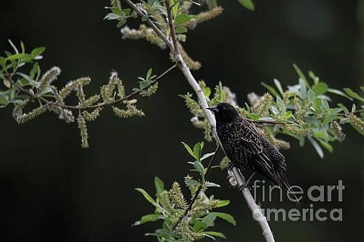 Rod Wiens - Blackbird in a Tree