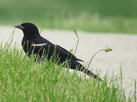 Blackbird in the Grass by Nicole Zanier
