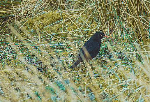 Marc Daly - Blackbird in the undergrowth