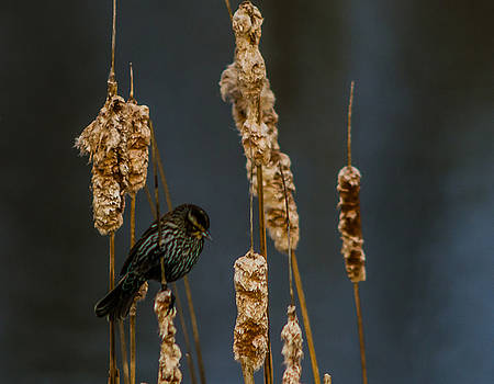 Blackbird on Cattail2 by Don L Williams