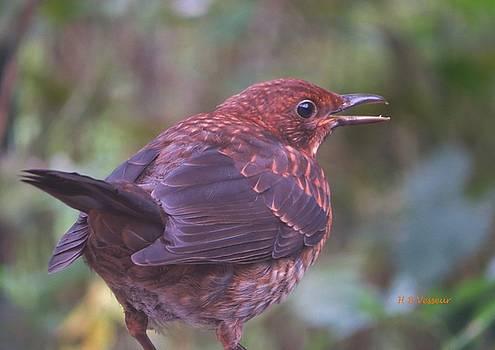 Female Blackbird Turdus merula by B Vesseur