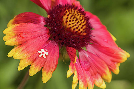 Blanket Flower by Karen Forsyth