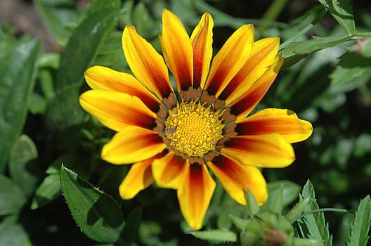 Blanketflower by Stacey Lynn Payne