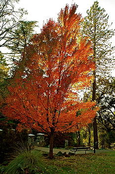 Blazing Maple Flame by Michele Myers