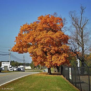 Blazing Tree On Old Hargrave Road by Matt Taylor