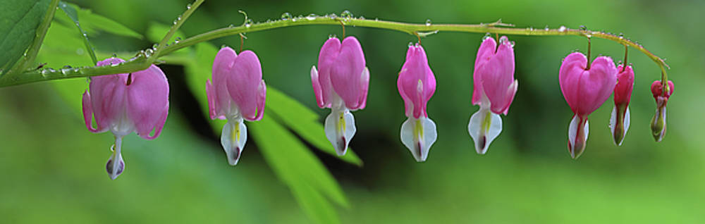 Bleeding Heart Flower Panorama by Juergen Roth