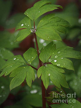 Bleeding Heart Leaves After The Rain 2 by Dorothy Lee
