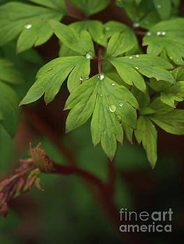 Bleeding Heart Leaves After The Rain 3 by Dorothy Lee