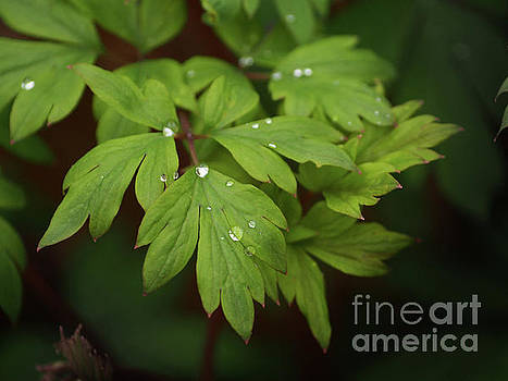 Bleeding Heart Leaves After The Rain by Dorothy Lee