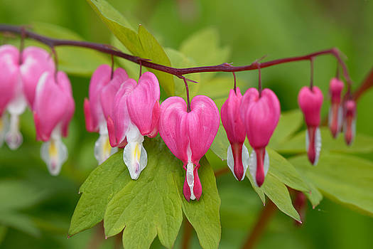 Bleeding Heart by Rodger Werner